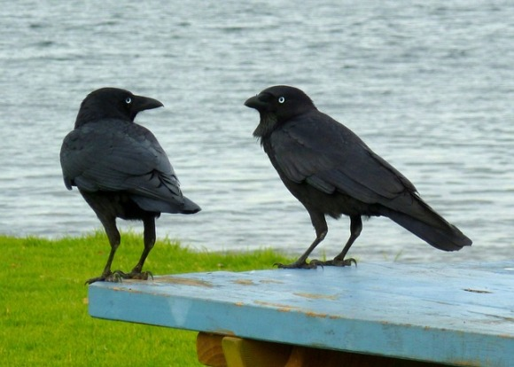 ravens in conversation oknamaste mandy learo